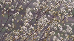 Spring Willow Branches Bloom on a Blurred Background. Daylight. Stock Footage