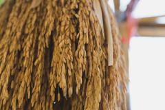 Dry spike rice is hanging on bamboo stick Stock Photos