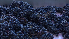 Harvest red vine-Manual sorting table, Worker processing freshly harvested grape Stock Footage
