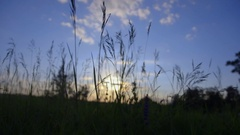 Field of feather grass at sunset vintage color Stock Footage