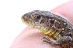 A lizard on a human finger on a white background Stock Photos