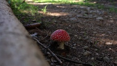 Fly agaric toad mushroom in a forest near a log mountainbiker passing by ri.. Stock Footage