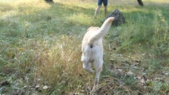 Labrador or golden retriever jogging behind his male owner outdoor Stock Footage