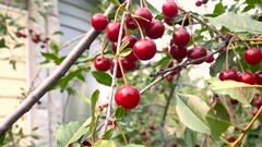 Branches of Ripe Cherries Panorama Summer Day Stock Footage