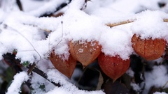 Physalis bunch under snow Stock Footage