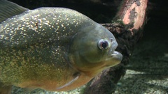 Red-bellied piranha Stock Footage