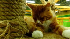 Maine Coon is one of largest breeds of cat Stock Footage