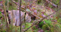 Playfull young lynx cat cub in the forest Stock Footage