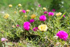 Portulaca oleracea flower or Common Purslane flower in garden. Stock Photos