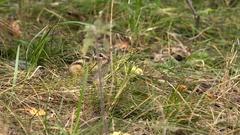 Chipmunk in Wild in Autumn Grass Stock Footage