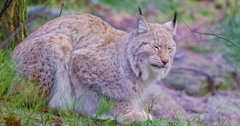 Two european lynx cats rests in the forest Stock Footage