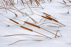 Typha angustifolia  is a perennial aquatic and marsh herbaceous plant Stock Photos