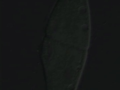 Paramecium asexual reproduction Stock Footage