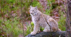 European lynx cat cub sits in the autumn forest Stock Footage