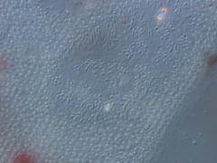 Paramecium, trichocysts Stock Footage