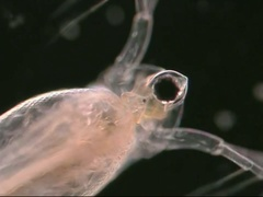 Daphnia or water flea, male reproductive parts Stock Footage