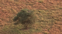 AERIAL: Secretary bird on top off acacia tree sitting on eggs to hatch them Stock Footage