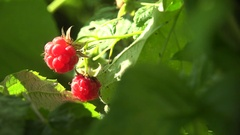 Bright red raspberries hanging among green leaves in garden macro 4k Stock Footage