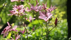 Magnolia susan Magnoliaceae, M.stellata, M.liliflora . Natural spring background Stock Footage