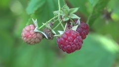 Man's hand plucks raspberry among green leaves in garden macro 4k Stock Footage