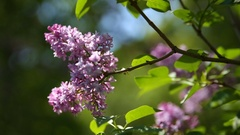 Lilac bush. Natural spring background with blossoming flowers Stock Footage