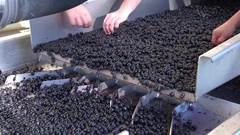 Harvest red vine in box-Manual sorting table, Worker processing freshly harveste Stock Footage