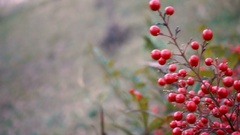Red berries plant moving in the wind Stock Footage