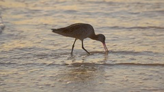 A sandpiper bird at sunset on the beach, slow motion. Stock Footage