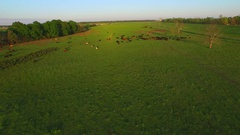 Xws cows in green field pasture aerial  Stock Footage