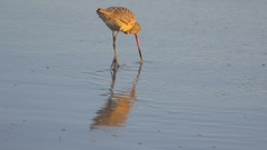 A sandpiper bird at sunset on the beach. Stock Footage