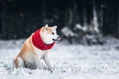 Akita Inu winter portrait Stock Photos