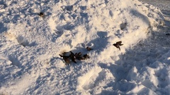 Flock of birds eating a piece of bread in the snow, winter sunny day Stock Footage
