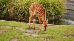 Nyala antelope outdoors Stock Footage