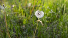 Seeds of dandelion the wind blows. Green grass in the summer park. Sunny day Stock Footage