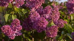 Lilac blossom tree in the garden in spring, insects pollinate flowers of lilac Stock Footage