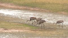 Sandhill Cranes Group Walk Long Legs Wetlands Stock Footage