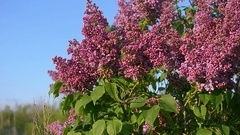 Lilac blossom tree in spring garden, blooming lilac tree against a blue sky Stock Footage
