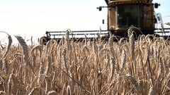 Ripe Ears Wheat Against Backdrop of Large Combine Harvester on the Field Stock Footage