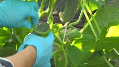 Gathering Cucumbers in Summer Cottage Woman Plucks the Vegetables From the Stock Footage