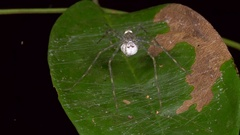 Spider in a web constructed on the surface of a leaf Stock Footage