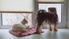Cat and a funny dog Yorkshire Terrier sitting on the sill of a window pet Stock Footage