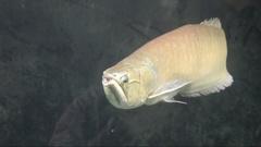 Silver arowana swim in an aquarium  Stock Footage