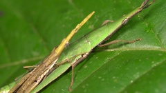 Pair of green cryptic grasshoppers (Omura congrua)  Stock Footage