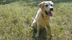 Dog breed labrador retriever sits on green grass and barking. Training of animal Arkistovideo
