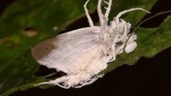 Cordyceps fungus parasitizing a moth.  Stock Footage