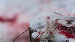 Feathers of birds and blood on the snow close-up Stock Footage