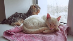 Cat and a funny dog Yorkshire Terrier sitting pet on the sill of window Stock Footage