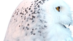 White owl with yellow eyes on snow: detail Stock Footage