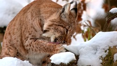 Eurasian Lynx in winter Stock Footage