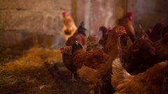 Chicken farm. Hens and roosters in the henhouse. Smooth panning video Stock Footage